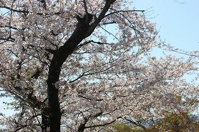 2014-04-01 織姫山の桜と蕎遊庵 005