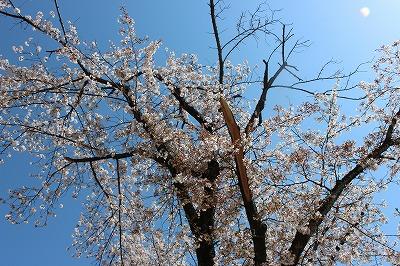 2014-04-01 織姫山の桜と蕎遊庵 011